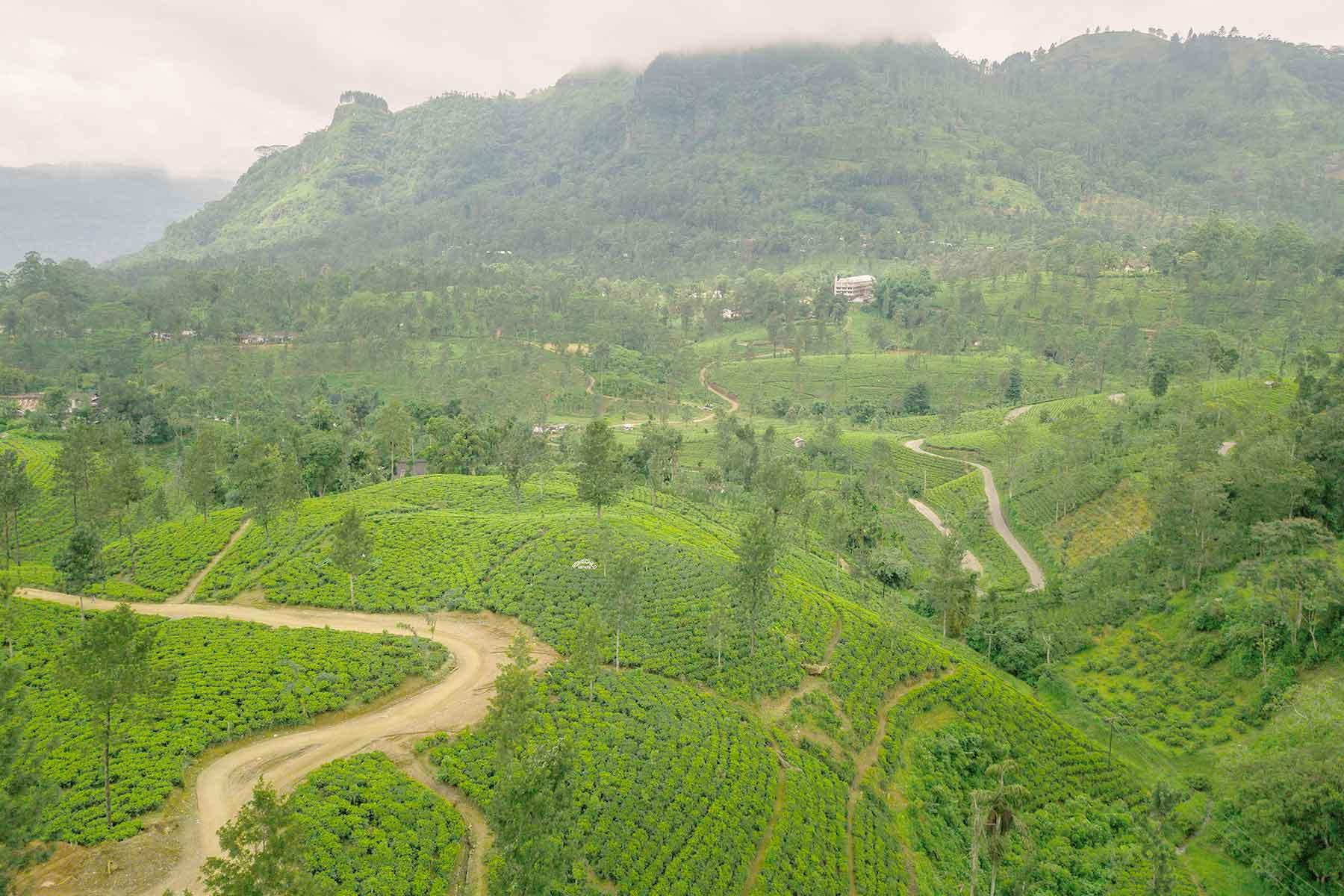 Bester Grüner und Schwarzer Tee vom Teeshop Evas Teeplantage